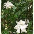 花木庭木の販売店【花育通販】姫クチナシの苗木を販売
