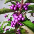 【花育通販】紫式部(ムラサキシキブ) の苗木(4号鉢植え)を販売