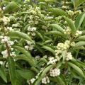 【花育通販】白式部(シロシキブ)の苗木(7.5cmポット)を販売