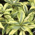 斑入り沈丁花「信濃錦」の苗木を販売しています。【花育通販】