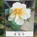 椿(つばき)の販売店【花育通販】黄蓮華の苗を販売