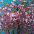 【花育通販】藤(フジ)「本紅藤」の苗木を販売