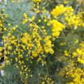 ミモザ・アカシアの苗木を販売【花育通販】
