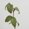 ミズメ(梓)苗木を販売【花育通販】