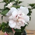 槿(ムクゲ)・ピンク八重の苗木