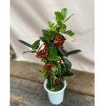 クリスマスホーリー(セイヨウヒイラギ)4号鉢植え