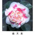 椿(ツバキ)の販売店【花育通販】越天楽を販売
