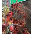 赤花マンサク・インテルメディア(ハマメリス)'ディアンヌ'の苗木