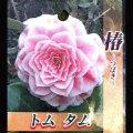 椿(ツバキ)の販売店【花育通販】トムタムを販売