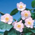 ナツロウバイ(夏蝋梅)の苗木