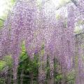 九尺藤(キュウシャクフジ)の苗木