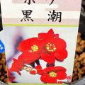 木瓜(ボケ)・黒潮(くろしお)の苗木