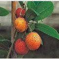 ストロベリーツリー(アルブツス ウネド)の苗木