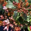ベニバナ(紅花)シャリンバイの苗木(赤花)