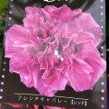 槿(ムクゲ)・フレンチキャバレー レッド