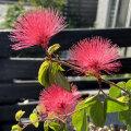 四季咲きネムノキ(丸葉・高麗ネム)の苗木