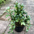 サルコッコカ フミリス苗木