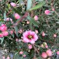 【八重咲きピンク花】ギョリュウバイ(御柳梅/魚柳梅/レプトスペルマム/マヌカハニーの木)の苗木