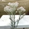 ライスフラワーの苗(ホワイト)