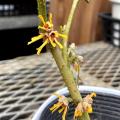 黄花マンサク(万作)の苗木