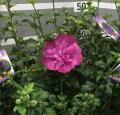 ムクゲ 紫八重
