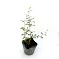 観葉植物の販売店【花育通販】ソフォラ(リトルベイビー)の苗を販売