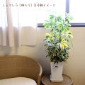 観葉植物の販売店【花育通販】観葉植物シュフレラ(斑入り)8号鉢植えを販売しています