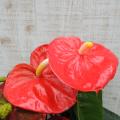 観葉植物の販売店【花育通販】アンスリウム・ロイヤルチャンピオン