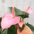 観葉植物の販売店【花育通販】アンスリウム・ピンクチャンピオン