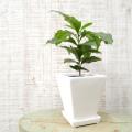 観葉植物の販売店【花育通販】コーヒーの木