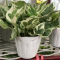 観葉植物の販売店【花育通販】ポトス・エンジョイの苗を販売