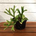 【花育通販】希少な「コウモリラン(ビカクシダ)・リドレイ5号鉢植え」を販売。