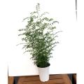 観葉植物「シマトネリコ(6号鉢植え)」を販売【花育通販】