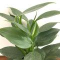 観葉植物「フィロデンドロン・シルバーメタルの苗(3号)」を販売【花育通販】