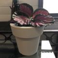 カラテア・ロゼオピクタ'ロージー'Calathea roseopicta 'Rosy'