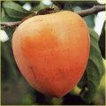 柿(カキ)の苗木を販売