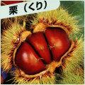 栗(クリ)の苗木を販売