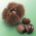 果樹苗木の販売店【花育通販】栗(クリ)の苗木 利平を販売