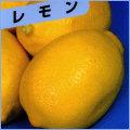 レモン(柑橘系)苗木を販売