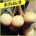 銀杏(ぎんなん)の苗木を販売