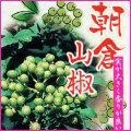 山椒(さんしょう)の苗木を販売