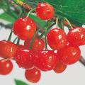 果樹苗木の販売店【花育通販】さくらんぼの苗木 暖地桜桃を販売