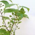 果樹苗木の販売店【花育通販】実つきサクランボの苗木 暖地桜桃を販売