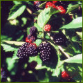 ブラックベリーの苗木を販売