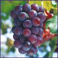 葡萄(ぶどう・ブドウ)苗木を販売
