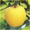 林檎(リンゴ)苗木の販売店