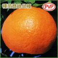 せとか(柑橘系)の苗木を販売