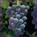 巨峰・デラウェア(葡萄・ブドウ)の苗木を販売