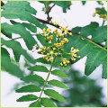 葉山椒(さんしょう)の苗木を販売