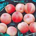 桃(モモ)苗木の販売店「花育通販」